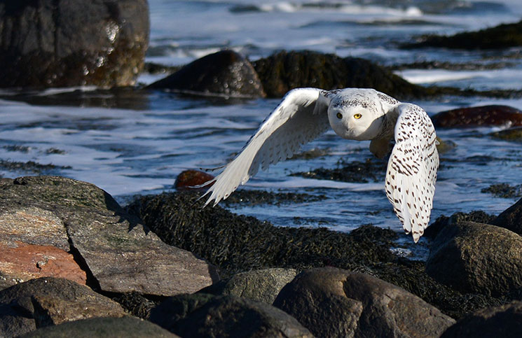 OUTDOORS_SnowyOwl3_byKatherineDavis