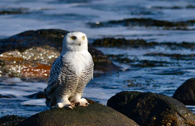 OUTDOORS_SnowyOwl6_byKatherineDavis