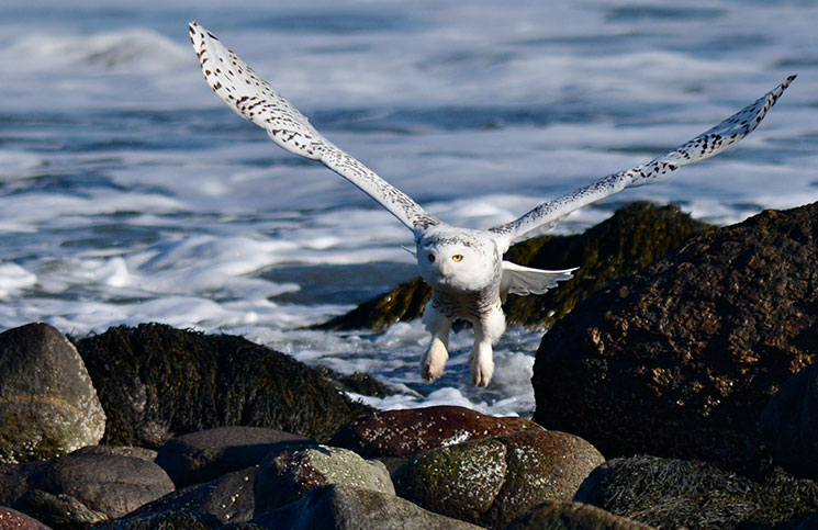 OUTDOORS_SnowyOwl_byKatherineDavis