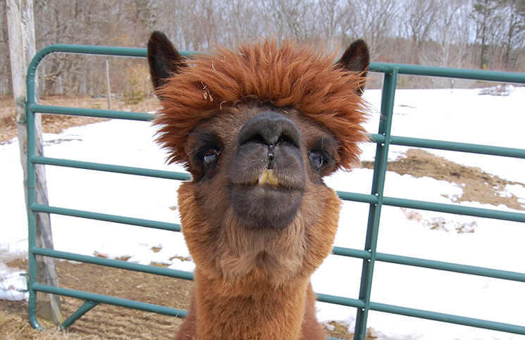 cs_Face_Alpacas2